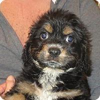 Adopt A Pet :: Dagwood - Salem, NH
