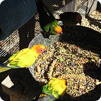 Adopt A Pet :: Sun Conure-(Sunnie) - Christmas, FL