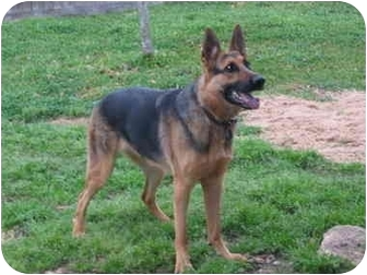 German Shepherd Dog/German Shepherd Dog Mix Dog for adoption in Dripping Springs, Texas - Cheyanne