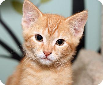 Domestic Shorthair Kitten for adoption in Royal Oak, Michigan - LUKE