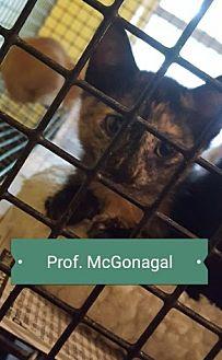 Domestic Shorthair Kitten for adoption in Marianna, Florida - McGonangal