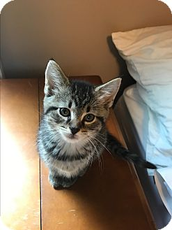 Maine Coon Kitten for adoption in Columbia, Tennessee - Alaska