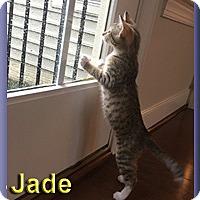 Adopt A Pet :: Jade - Aldie, VA