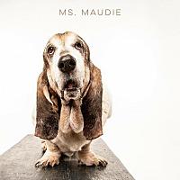 Basset Hound Dog for adoption in Houston, Texas - Ms Maudie