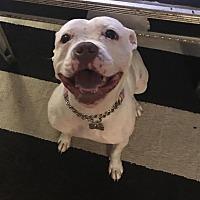 Adopt A Pet :: Petunia aka Gigi - Detroit, MI