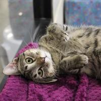 Domestic Shorthair/Domestic Shorthair Mix Cat for adoption in Brunswick, Georgia - Ziggy