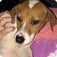 Labrador Retriever Mix Puppy for adoption in Chantilly, Virginia - Wendy's Biscuit