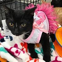 Adopt A Pet :: Socks - Fairfax, VA