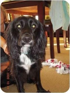 English Springer Spaniel Mix Dog for adoption in Troy, Michigan - Lizzie