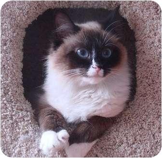 Ragdoll Cat for adoption in Davis, California - Sierra