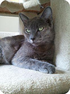 Domestic Shorthair Cat for adoption in Irvine, California - Zira