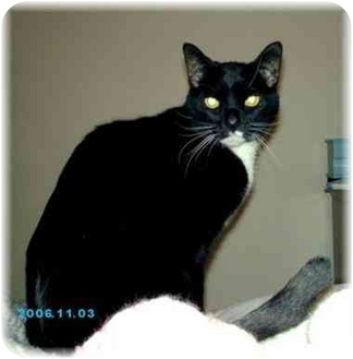 Domestic Shorthair Cat for adoption in Brighton, Michigan - Lucy
