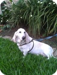Basset Hound Dog for adoption in Folsom, Louisiana - Beaux