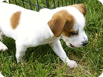 Chihuahua/Terrier (Unknown Type, Small) Mix Puppy for adoption in LaGrange, Kentucky - SKIPPER