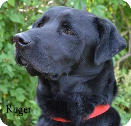 Labrador Retriever Dog for adoption in Warren, Pennsylvania - Ruger