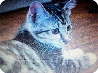 Domestic Shorthair Kitten for adoption in Seminole, Florida - Precious