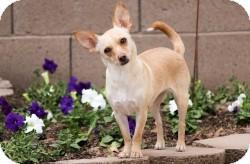 Chihuahua Mix Dog for adoption in Mesa, Arizona - Rigley