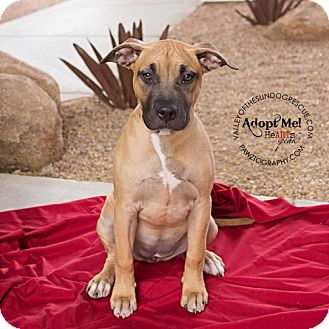 American Pit Bull Terrier Puppy for adoption in Mesa, Arizona - Remi