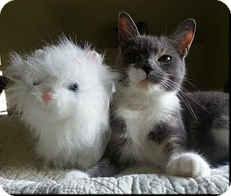 Domestic Shorthair Cat for adoption in Colmar, Pennsylvania - Miss Muffett
