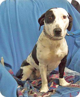 Basset Hound/Border Collie Mix Dog for adoption in Minneapolis, Minnesota - Gertie