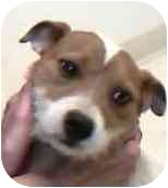 Jack Russell Terrier Dog for adoption in Walker, Michigan - Lucky