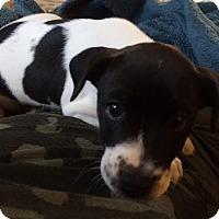 Adopt A Pet :: Gabby  & Grayson - CHAMPAIGN, IL