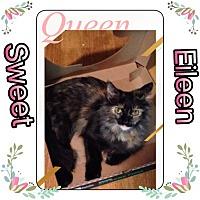Domestic Longhair Kitten for adoption in Ravenna, Texas - Sweet Eileen