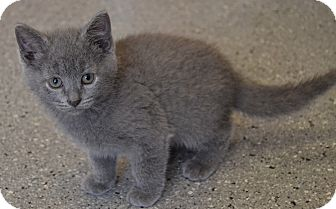 Domestic Shorthair Kitten for adoption in Michigan City, Indiana - Stellar