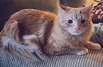 Domestic Longhair Cat for adoption in Johnson City, Tennessee - Reebok