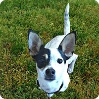 Adopt A Pet :: Dodger needs a buddy! - Redondo Beach, CA