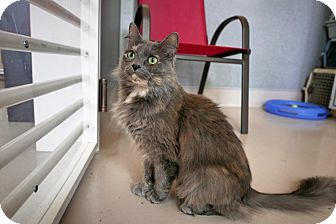 Domestic Mediumhair Cat for adoption in Kingston, Washington - Katie