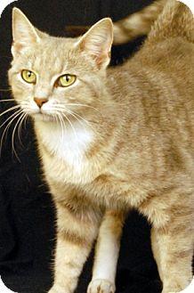 Domestic Shorthair Cat for adoption in Newland, North Carolina - Monique