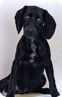 Hound (Unknown Type)/Labrador Retriever Mix Puppy for adoption in Newland, North Carolina - Fern