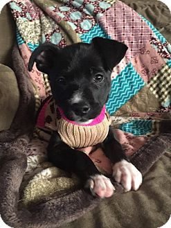 Terrier (Unknown Type, Small) Mix Puppy for adoption in Fort Atkinson, Wisconsin - Sasha