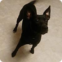 Adopt A Pet :: Nova - Harrison, AR