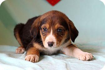 Shepherd (Unknown Type) Mix Puppy for adoption in Waldorf, Maryland - Korey