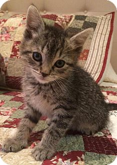 Domestic Shorthair Kitten for adoption in River Edge, New Jersey - Atticus