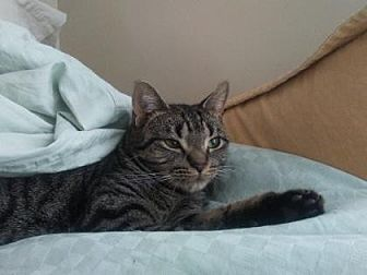 Domestic Shorthair Cat for adoption in New York, New York - Zoey