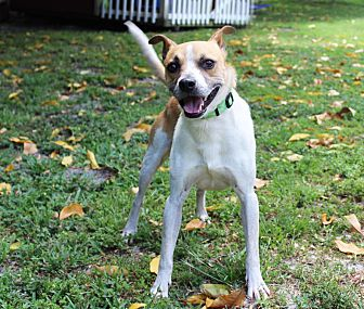 Jack Russell Terrier Mix Dog for adoption in Boca Raton, Florida - Jackson