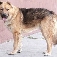 German Shepherd Dog/Chow Chow Mix Dog for adoption in Burbank, California - Jenkins