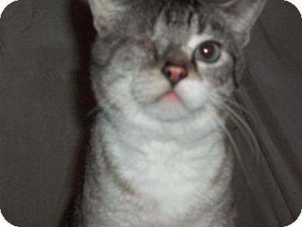 Domestic Shorthair Cat for adoption in Harrisonburg, Virginia - Ricky