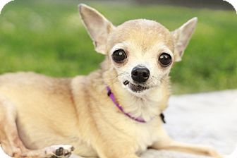 Chihuahua Dog for adoption in Romeoville, Illinois - Bitsy