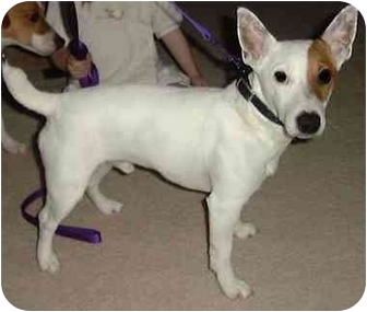 Jack Russell Terrier Dog for adoption in Scottsdale, Arizona - PATCH II