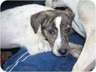 Beagle/Rat Terrier Mix Puppy for adoption in Burbank, California - Kaylee
