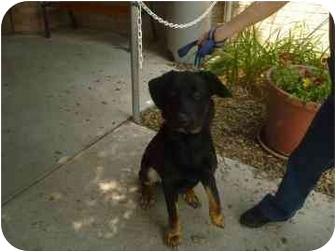 Rottweiler/German Shepherd Dog Mix Dog for adoption in Barrie, Ontario - Houdini