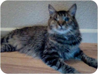 Maine Coon Cat for adoption in Elverta, California - Marty