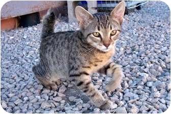 American Bobtail Kitten for adoption in Sullivan, Missouri - Travis