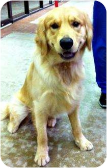Golden Retriever Dog for adoption in Houston, Texas - Shine