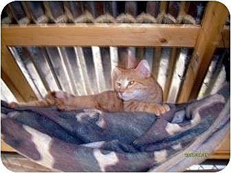 Domestic Mediumhair Cat for adoption in Winnsboro, South Carolina - Micah