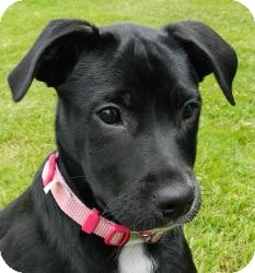 Shepherd (Unknown Type)/Labrador Retriever Mix Puppy for adoption in Haverhill, Massachusetts - Chyna